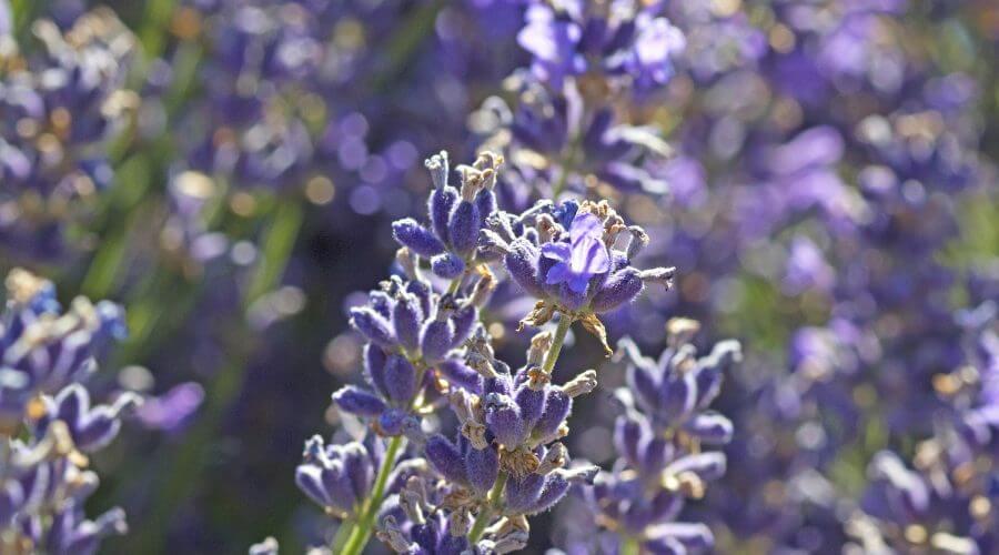 lavender macro fk8FlvYO