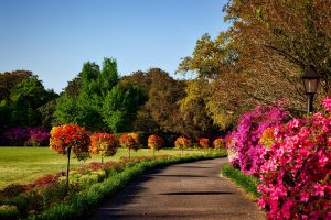 Path lined with azaleas and saplings
