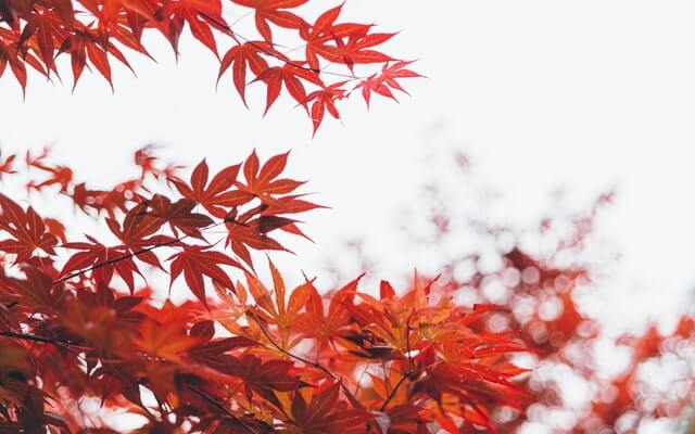 Close up photo of vibrant red Japanese maple leaves