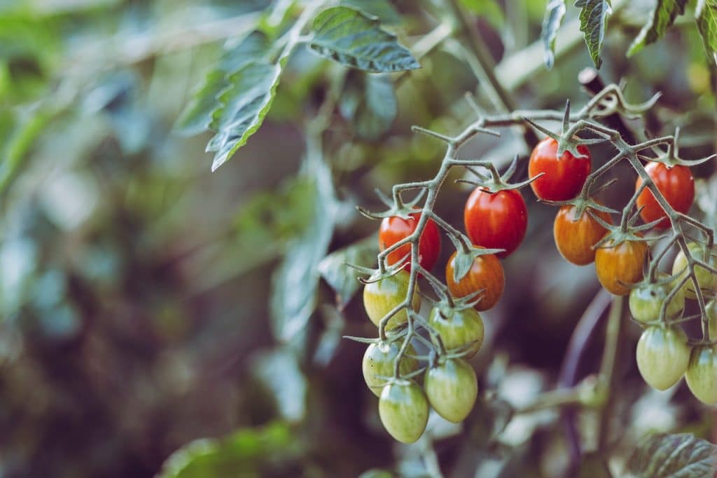 Close up photo of small green, orange, and red tomatoes on vine